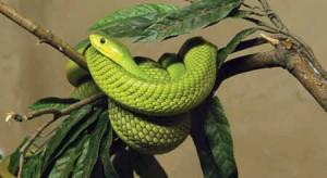Green Mamba (Densroaspis angusticeps)