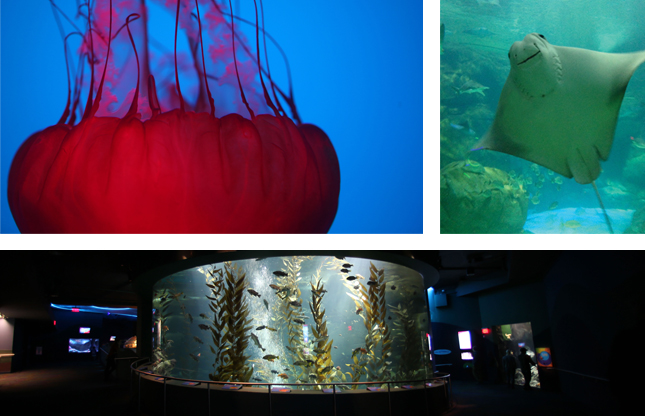 Photos of Jellyfish from Planet Jellies; cownose stingray from the Ray Bay tank and the Pacific Kelp exhibit.